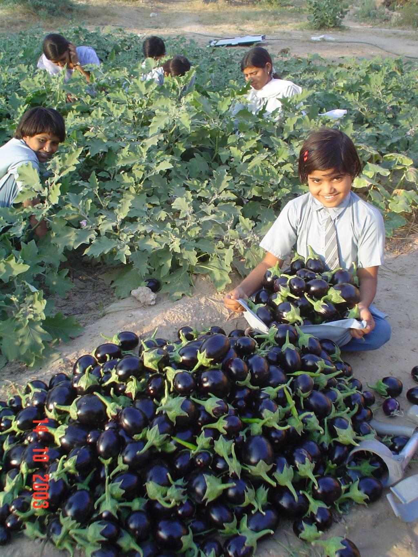 Harvesting Bounty eggplant